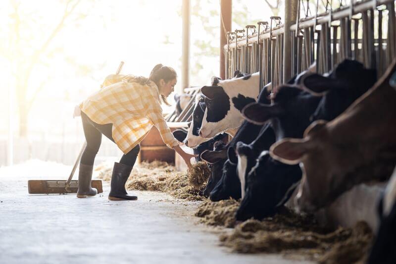 ração para bovinos